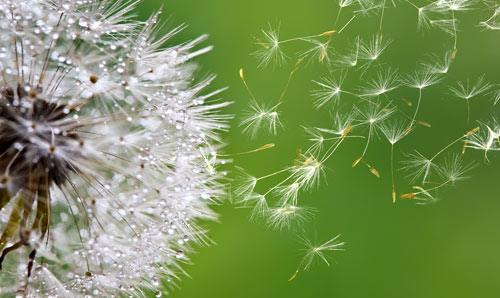 Dandelion seeds floating on the breeze