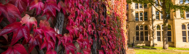 Red leaves growing on university wall